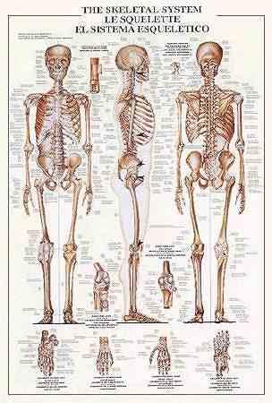 Skeletal_System.jpg