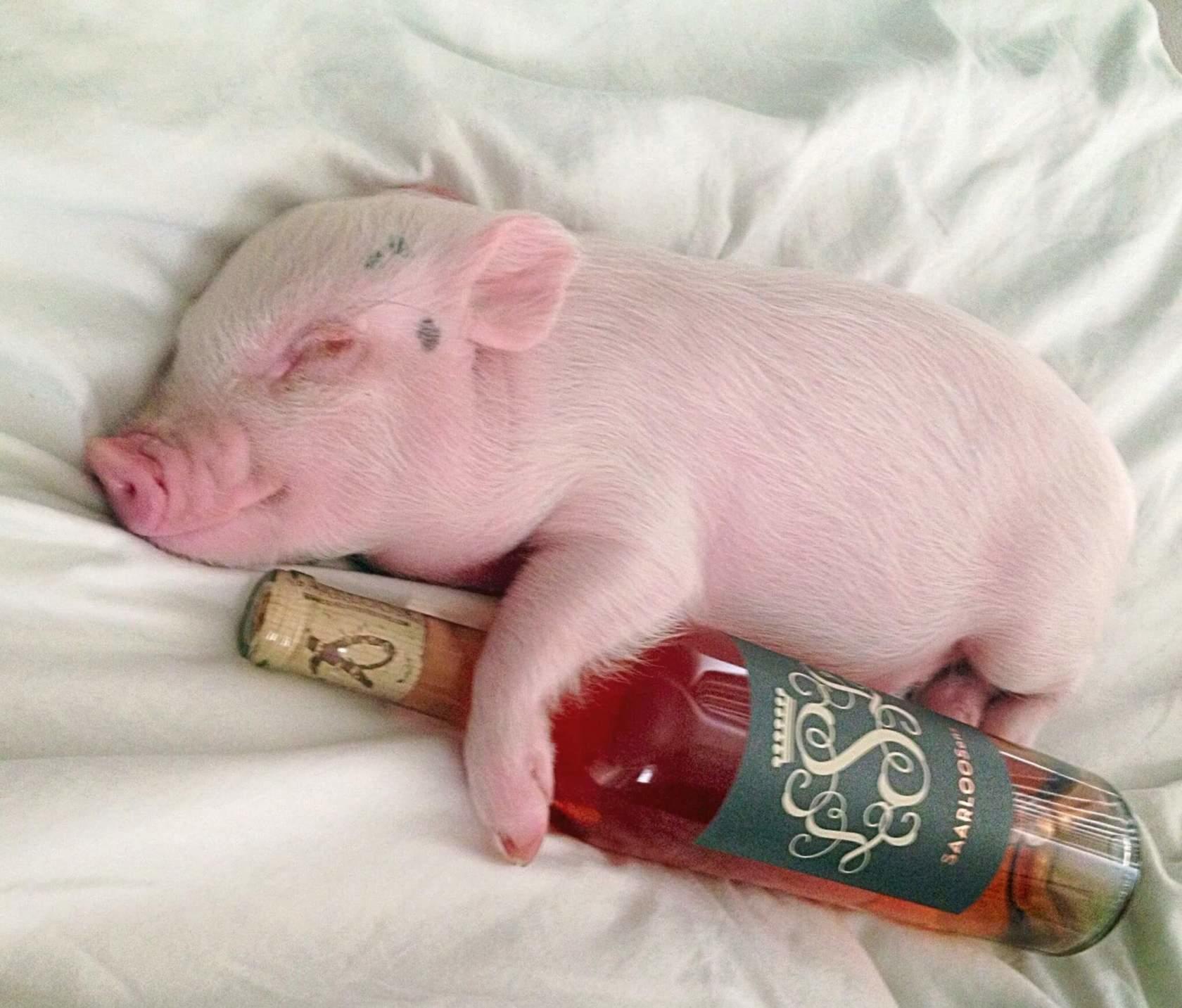 Для, приколы картинки со свиньями