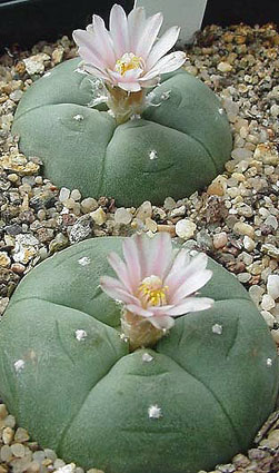 Lophophora_williamsii14.jpg