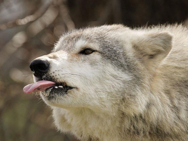 Серый волк фото прикол, днем