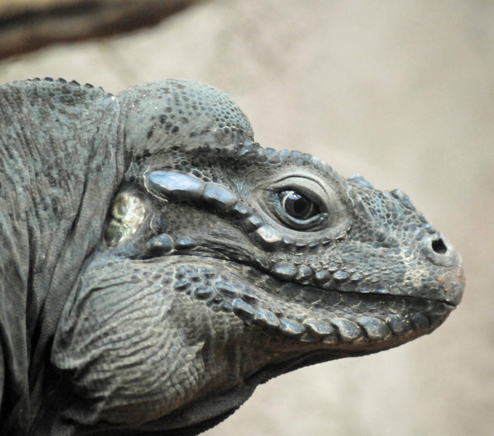 rhinoceros_iguana1_136389.jpg